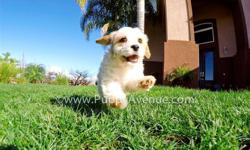 This handsome boy is ?Lucas?, our incredibly beautiful male CavaChon Hybrid puppy for sale in San Diego.   Cavalier King Charles Spaniel x Bichon Frise * 10 weeks old  * Adult weight: 10-14 lb. * Checked by a Licensed Vet * Clean Bill of Health
