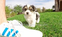 This lovely boy is ?Chase?, our sweetest male Parti Morkie Hybrid puppy for sale in San Diego. He is current on his vaccines and comes with a One Year Congenital Health Guarantee. Chase will be 5-7 lbs Full Grown. He is currently 9 weeks old and ready to