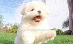 This is ?Stassi?, our gorgeous female Teddy Bear Hybrid puppy for sale in San Diego. STASSI HAS THE VERY RARE ALL CREAM COLOR!   Maltese  x Shih Tzu * 9 weeks old  * Adult weight:10-13 lb. * Checked by a Licensed Vet * Clean Bill of
