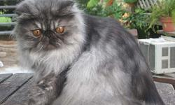 I am looking for a pet home for a beautiful Black Smoke CFA Registered Persian boy. He is almost 2 yrs old. I kept him for breeding, but have decided to neuter him and offer him as a pet. He has a wonderful, loving temperment and striking eyes and