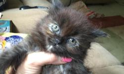 I have one full blooded Persian female black torti color $250  one orange male $ full blooded $300.   2 mixed orange $150.   All have first shots. They are 9 weeks old. I have now reduced both orange males to $80
