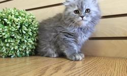 Adorable 2 month old Scottish Fold and Persian mix kittens for sale! Silver fur color. Health is guaranteed. Potty trained! Very energetic and playful. The best present for your family. Call 718-645-7722Alexakittens.com