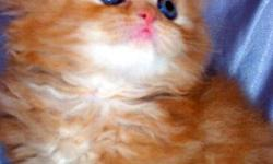 Welcome to Furry Dream Cattery. We specialize in producing beautiful, soft, very tender, gentle, sweet loving purebred pedigree kittens. We have all color of kittens. CFA Register. Cat boarding. Professional Cat Grooming. Price range on kittens from $600