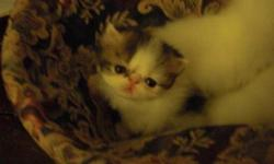 Brown Tabby & White show quality boy hand raised in loving and caring home. Florida Health Cert, Feline leukemia, Aides, HW test and PKD Neg. Will be ready to go June 20th. escolasticapersians.vpweb.com. Please contact 772-777-9725
