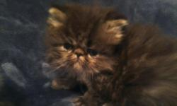 Adorable Black Tabby, Male, Persian Kitten. 6 weeks old & is already eating solid foods & using the litter box.  This bundle of joy is very outgoing & curious & will be a wonderful family pet. He will be vet checked before leaving my