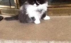 We have one male black and white kitten ready for a new home.The kitten is family raised and he is very loveable, he is also vet checked and has his 1st shotand the parents are on site.