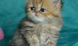 **(Golden)** Persian Kittens, CFA Registered DNA PKD Negative, FIV/FeLV Negative, Spayed/Neutered, Vet Checked, Vaccinated, Wormed, 1 Year Health Guarantee, DOB: 3-24-2016 $200 Deposit Holds Your Kitten. For More Information Please Visit My Web Site @