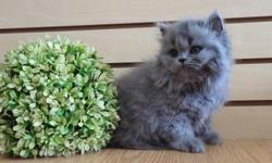Exotic Scottish Fold and Persian mixed kitten for sale! 2 months old. Female. Ash grey fur color. Playful, energetic, and potty trained! Health is guaranteed. The best present for Mother's Day! 718-645-7722 Ask for Alexandra Alexakittens.com