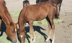 PERUVIAN PASO FILLY  3/4  . 1/4 ARABIAN   BORN  MARCH 2013 ,  BEAUTIFUL FILLY  ASKING $1,000.00  AND MARE IS  1/2  PERUVIAN   AND 1/2  ARABIAN  ALSO FOR SELL VERY GENTLE,  MARE IS