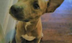 Very energetic,playful 3month old female tiger strip pitbull for $50.00 call (225)475-1150
