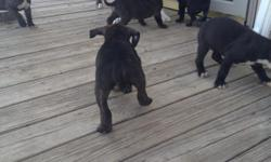 Blue line pitbulls for sale Female and Males call or text for pictures and price. Momma and Daddy on site. Pups were just born on 01/28/2014. w/ first shots. call or text for more information