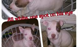 I have 5 out of 9 puppies left. All boys born memorial day. I have one ALL WHITE that I'm asking $550 OBO on and the other boys are $225 OBO. They are all healthy and ready for a new home. Local buyers only