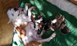Full blooded pitbull puppies