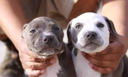 PUPS ARE ABOUT 8 WEEKS OLD, RAZOR EDGE AND RUFFIAN, PUPS HAVE BEEN DEWORMED, CURRENTLY HAVE 7 PUPPS OUT OF A LITTER OF 9..HAVE LOWERED THE PRICE TO $200 SO PUPPS CAN FIND A LOVING HOME, MOM IS UKC REGISTERED AND A DIRECT JALISCO DAUGHTER, 3 MALES AND 4