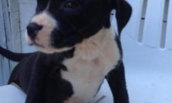 6 week old Pitt Pups ready to have a new home. 4 males and 1 female. Females is mostly black with a white chest, 1 male black and white , another male white with black patches on eyes and a blue and white. Mother is a Blue Pitt and Sire is white and
