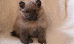 We have healthy females and males pure breed Pomeranian puppies for loving homes. Please call or send a text to the number { { 3 6 O 8 6 O 7 2 5 6 } } for more info and the most recent pictures of our available puppies. Our Pomeranian puppies are