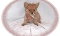 """This baby boy is cheerful.He is always happy and playful. He is a Pomeranian and a Yorkie mix-""""Porkie"""". If you want a tiny baby to spoil-he's the one!He is micro chipped.He comes with his first series of shots, wormings and a Vet Health Certificate. He"""