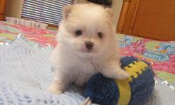 Beautiful male Pom pup. He was born May 11th and will be ready to go to his new forever home in July. He will be a tiny toy size with a gorgeous thick coat. He will come with AKC regitration, current health certificate and puppy