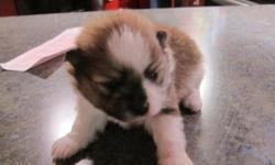 BEAUTIFUL LITTER OF POMERANIANS. ALL PUPS COME WITH AKC REGISTRATION, CURRENT HEALTH CERTIFICATE AND PUPPY PACK. PRICES ARE FROM $850 TO $1300. LOCATED IN SEMINOLE FL. IF INTERESTED PLEASE CALL OR E MAIL ME. THANK YOU 727-271-2712