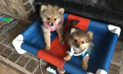 2 beautiful Pom Puppies for Sale. One boy and one girl. We are asking $1,000 each OBO. They are very sweet and great lap dogs. We have dogs and thesewere unexpected additions to the family. If interested, call Susan at 808-429-2323.
