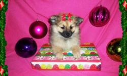 Beautiful Purebred Pomeranian Puppies with huge fluffy coats and beautiful colors, Orange Sable and Cream Sable.2 females for $500 each. They come with Puppy Vaccinations, Registration Papers, Health Records, Health guarantee, a month of puppy