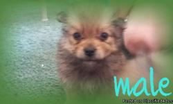 Hi I have one male full blooded pom for 150. He will weigh about 8-9 lbs full grown. He is not potty trained. No papers, cash and pickup only. If interested Plz text me at 972-567-8280. Thanks and have a great day.