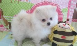Say hello to Summer. She is a beautiful and tiny little girl and she is looking for her perfect forever home. Mommy is a beautiful cream color 5 lbs. Daddy is a gorgeous cream & white 5 lbs. Summer will come with AKC registration, health certificate and