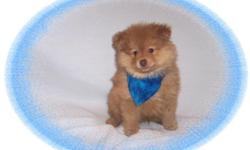 This baby boy is a gem. He is happy and playful. He has been very well socialized and loves everyone. He has a great thick fur coat. If you are looking for a baby to spoil-this is the one! He is micro chipped.He comes with his first series of shots,