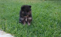3 Pomeranian puppies for sale born June 1st they have their first shot and dewormed. There is 2 female and 1 male (white) asking 600 or best offer call Seli if interested at (619) 8869099