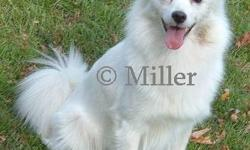 Our Pomimo's are a cross of purebred miniature American Eskimo and purebred Pomeranian. They are also known as Eskipoms or Eskiranians. They will have playful loving temperaments, beautiful big coats, and we are expecting some really neat markings. They