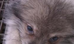Pomeranian/ American Eskimo puppy for sale. He is an 8 wk old male. We purchased him but our current dog is not taking to him. He is adorable and sweet and we are hoping to find him a wonderful home. He comes with a bed, crate, toys, collar, food and