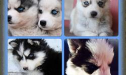 Pomsky Puppies. All colors. Some have blue eyes. Beautiful coats. Males and females. Vaccinated and dewormed. All paperwork. Potty training started. Excellent family dogs. $1,500. Call or text 213-394-2211