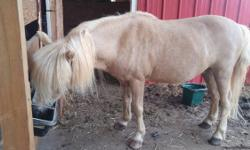 Beautiful palomino pony. 18 years old. In great health and great shape. He was used most of his years travelling in a pony ride business. He has not been ridden for several years but he is very gentle and lovesattention. His name is Dennis the