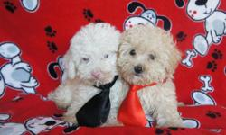 adorable puppies for sale. - We have 2 males, - They are vaccinated, have their papers vaccine - Are dewormed, - Is 8 1/2 weeks old and are eating alone, They are well-playful, cheerful, and very funny, - Are well healthy - We give 300 dollars, - We do