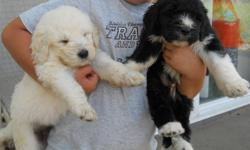 Poodle Great Pyrenees Hybrid, Pyredoodle pups. Black and white, or solid white. Male and Females. Raised with young children. Wormed, first shots, healthy. Health guarantee.