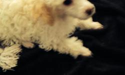 Toy poodle,11 wks. Buff male, shots,vet cert $350 cash 941-276-6646