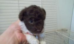 poodle pups 3 males 400.00 each akc reg will be about 4lbs or less 1 female parti poodle akc reg 400.00 will be around 5 to 6lbs or less 812-362-3033 or 812-896-5451