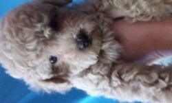 Only 2 boys toy poodles. UTD on shots,CKC Reg.Health Guarantee. Will make Great Pet ,non shedding.