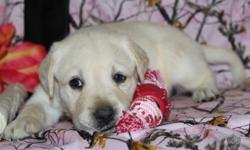 Hiya! I am Poppy, the delightful blonde female AKC Labrador Retriever! I was born on June 17, 2016! I'll come vet checked, with my shots and worming to date. I love to play, get my tummy rubbed and nap long side you.  They're asking $650.00 for