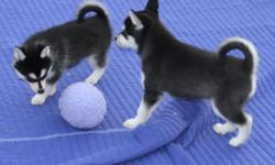 Potty Trained Purebred Blues Eyes Siberian Husky Puppies now ready to meet their new loving family. They are current up to date on all shots, potty trained home raise , AKC registered, very good with health and have a excellent pedigree. Will come with