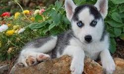PPlayful and Cute Siberian husky puppies Avaliable now. We have a male and a female avalaible CONTACT (313) 723-5160 FOR MORE INFO AND PICS