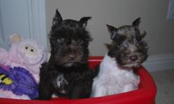 Super cute mini schnauzer male puppies. One chocolate male & one chocolate/white parti colored male Mother is liver (chocolate) and white. Father is solid liver (chocolate color). Puppies are current on shots and dewormed. They are also registered. Ears