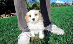 This handsome boy is ?Lucas?, our spunky male CavaChon Designer puppy for sale in San Diego.   Cavalier King Charles Spaniel x Bichon Frise * 9 weeks old  * Adult weight: 10-14 lb. * Checked by a Licensed Vet * Clean Bill of Health * Current
