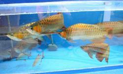 WE SUPPLY BEST QUALITY AROWANA FISHES OF ALL KINDS LIKE,ASIAN RED,SUPER RED,RTG,CHILI RED,GOLDS,ETC..ALL EQUIPPED WITH CERTIFICATES AND CITES PERMIT.WE DELIVER LIVE AROWANA BY AIR CARGO,SO WE CAN DELIVER TO ALMOST ANYWHERE IN THE WORLD.RE-SELLERS ARE