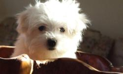 Very small 3/4 Maltese puppy, adorable pure white girl.She's loving, cheeky and very playful, their nature is gentle so are suitable for families with small children as well as being great companions for anyone whether you like to walk for miles or just