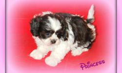 Looking for the perfect new family member? Well, here she is! This is Princess a beautiful Black and White female Shihpoo puppy. She is one of the Designer breeds between a Shihtzu and Poodle She does not shed and is hypoallergenic. She has a soft, cuddly