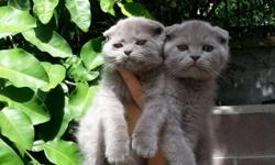 We are proud to offer your choice of two extremely loeable and adorable Scottish fold kittens.(folded-ears)They are 11 weks old,litter box trained,and up to date on accinations.Extremely people-friendly and great with other cats and een dogs.