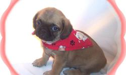 This baby boy will make you smile. He is so sweet and gentle. He loves to cuddle. He is a Pug and a Pekingese mix.He comes with his first series of shots, wormings and a Vet Health Certificate. He also comes with a complete puppy packet that includes a
