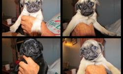 We currently have four pug puppies for sale. There are two males, one fawn and one black, and two females both fawn. We are asking $450.00, they have already received their first set of shots and have been dewormed. We are located in Plattsburgh, our