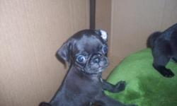Ready first week of March! I have 1 black famale,1 black male,1 fawn female and 1 fawn male!! Very active,healthy and extremely cute!! :) Vet checked before leaving,will have 1st shot and worming. Already paper trained! I have mom,uncle and